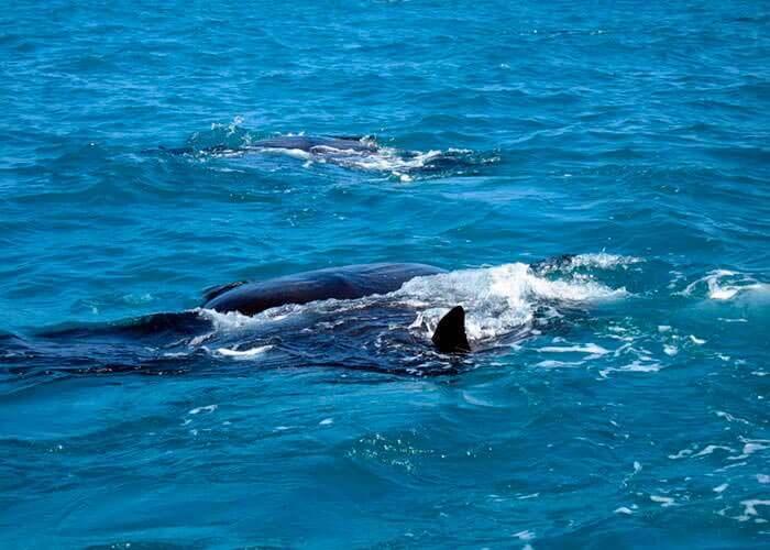 actividades-en-cacun-nadar-con-tiburon-ballena