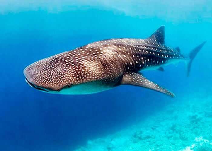 nado-con-tiburonballena-en-cancun