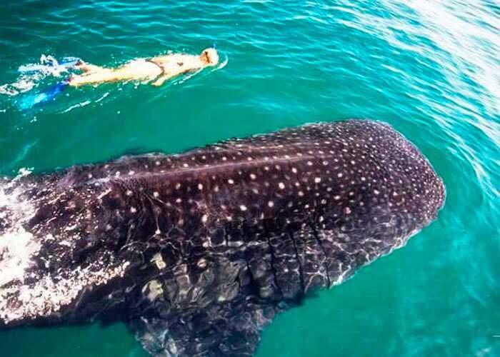 atracciones-en-cancun-nadar-con-tiburon-ballena