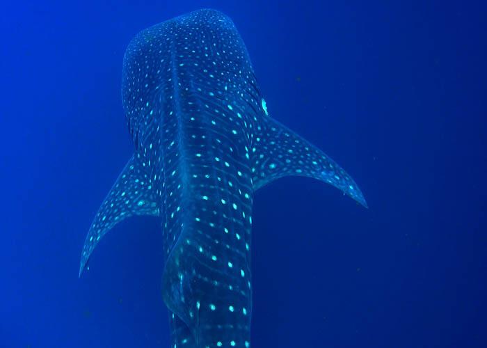 tour-nado-tiburonballena-desde-playadelcarmen