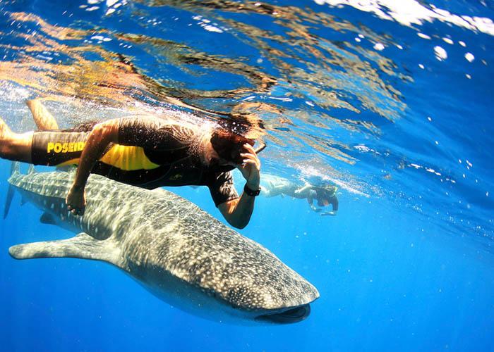 snorkel-con-tiburonballena-rivieramaya