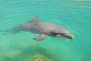 Delfin nadando en aguas del caribe
