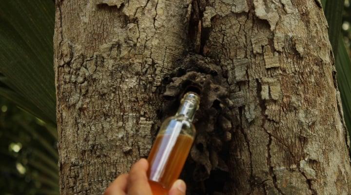 Mano con una botella junto a un tronco extrayendo el goteo de la miel melipona