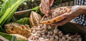 Manos ancianas sacando cacao de su vaina