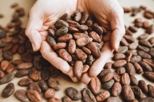 granos de cacao natural en manos de turista
