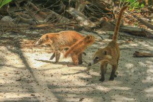 Coatis o tejones libres y silvestrs en zona turística de Cancún y Tulum