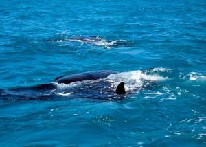aletas de tiburones ballena en Cancún