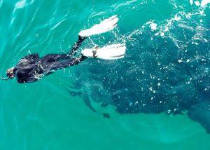 persona que nada junto al tiburon ballena