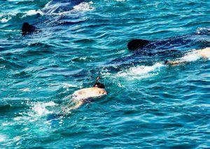 muchos tiburones ballena nadando en isla mujeres
